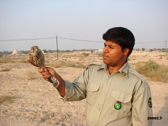 قیمت دلیجه یک پرنده شکاری در منطقه حفاظت شده نایبند رهاسازی شد